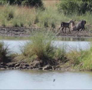 Antílope escapa das mandíbulas de crocodilo dando patadas nele