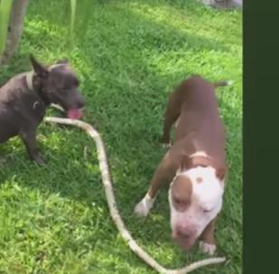 Dois Pit Bulles brincam com cobra