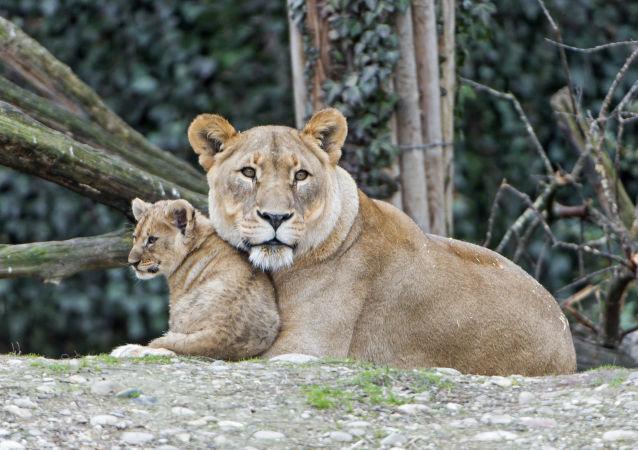 Leoa e seu filhote