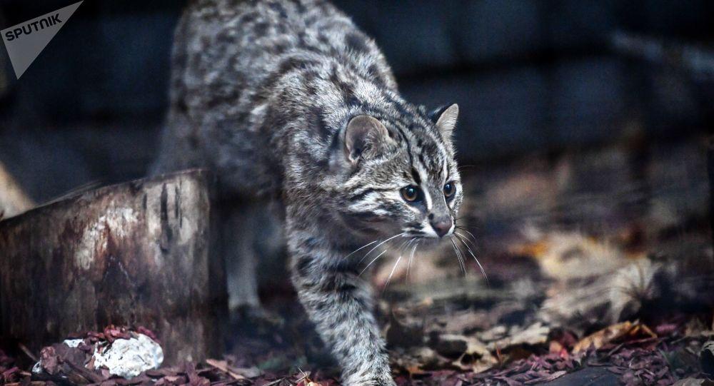 Gato selvagem de Amur caminhando no Jardim Zoológico de Moscou