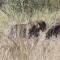 Javali escapa enquanto leopardos brigam por ele