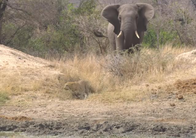 Elefante salva antílopes de emboscada de leopardo
