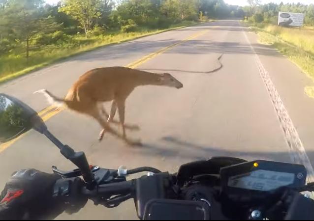 Motociclista choca contra cervo e os dois saem voando pelos ares