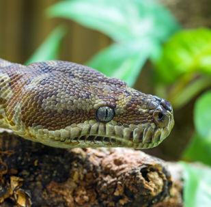 Cobra marrom (imagem referencial)