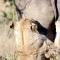 Leoa faminta agarra elefante com garras e dentes