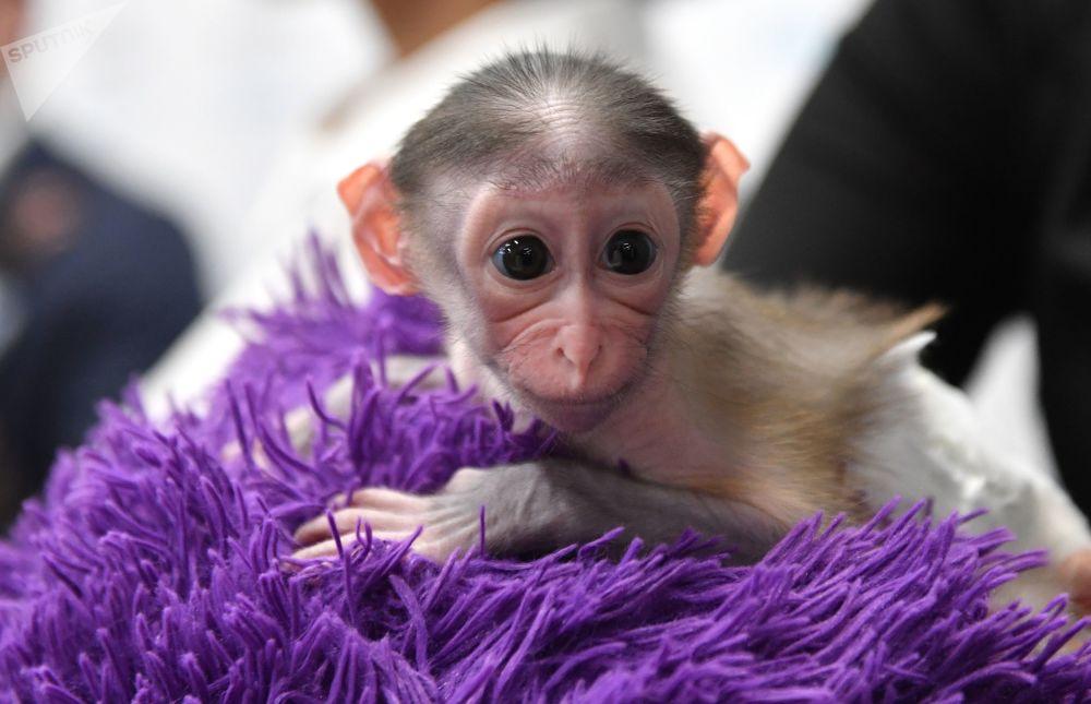 Macaco Klava, da espécie mangabei, que nasceu em um zoológico russo