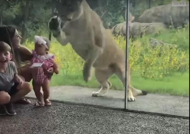 Com crianças na mira: leoa dá salto de ataque em zoo dos EUA