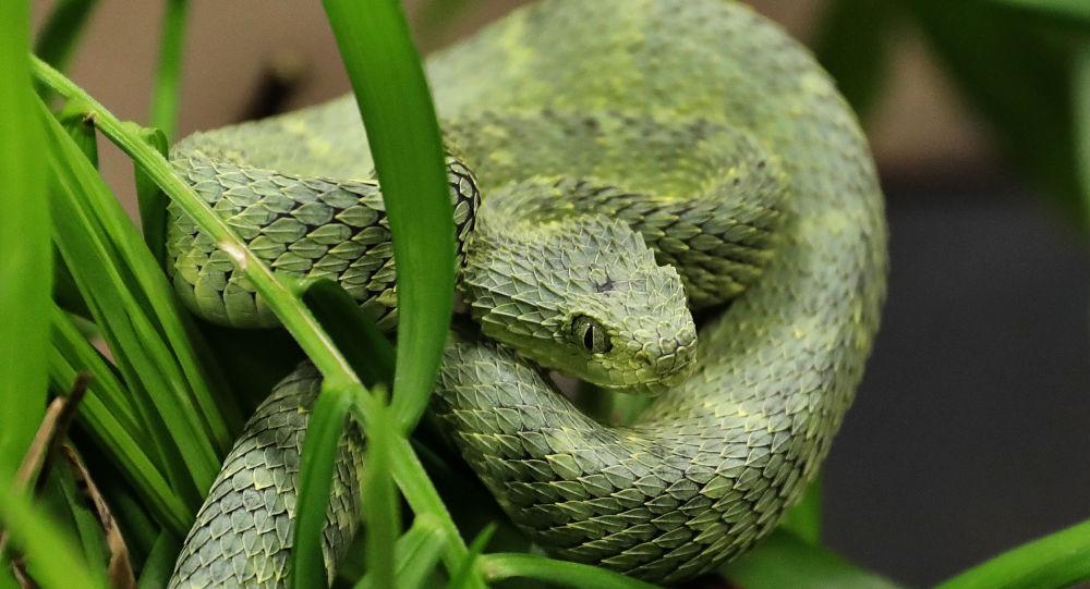 Serpente (imagem de arquivo)