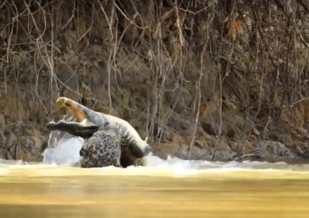 Leopardo enfrenta crocodilo