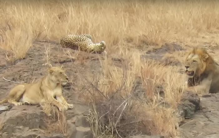 Leopardo finge submissão para escapar de fininho de leões