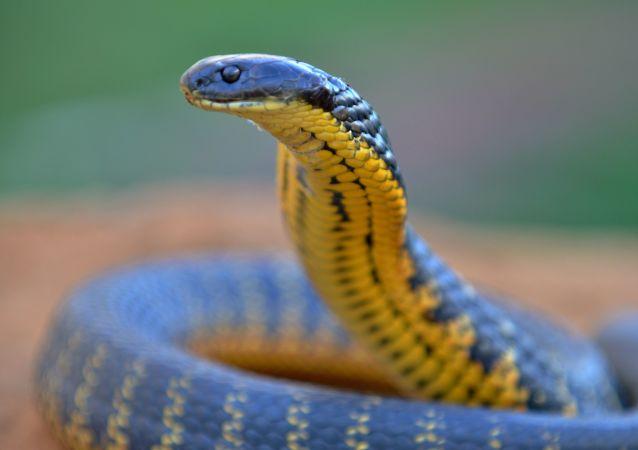 Cobra australiana