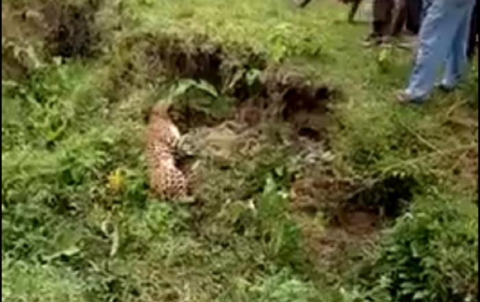 Tigre soneca