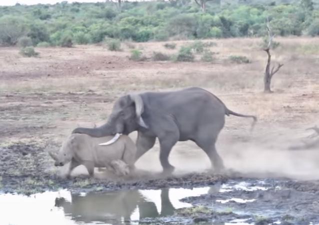 Luta de gigantes: elefante feroz ataca rinoceronte com filhote