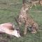 Momento de caça: Guepardo mata gazela