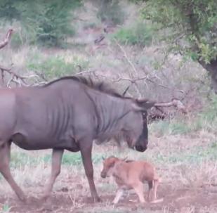 Mãe gnu tenta proteger filhote de chacais famintos até o fim