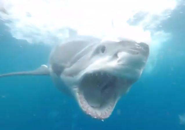 Tubarão-branco abre mandíbulas a poucos centímetros do rosto de mergulhadora