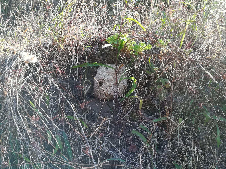 Ninho de vespas em meio à vegetação