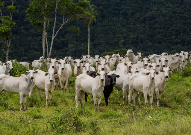 Gados na fazenda Nossa Senhora do Carmo, em Cumaru do Norte, no interior do Pará (arquivo)