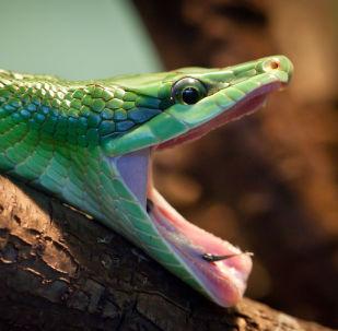 Cobra com mandíbula aberta