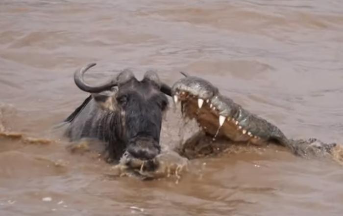 Crocodilo ataca gnu
