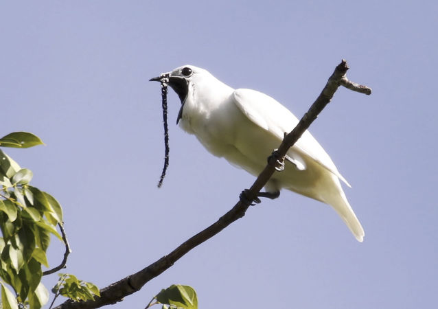 Araponga branca (Procnias albus)