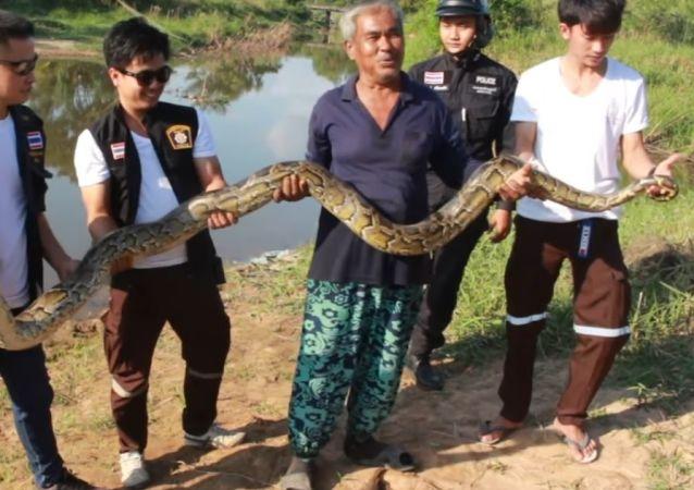 Píton de 3 metros na Tailândia.
