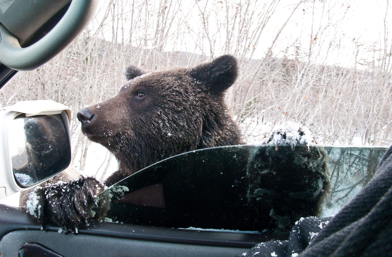Ursos gostam de entrar em carros deixados destrancados por moradores, que são orientados a não se aproximarem