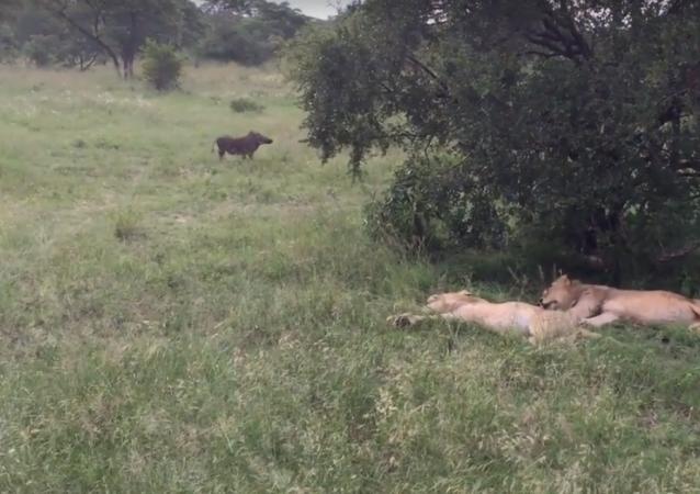 Javali passa acidentalmente perto de leões e corre para longe