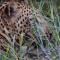 Leopardo devora porco-espinho
