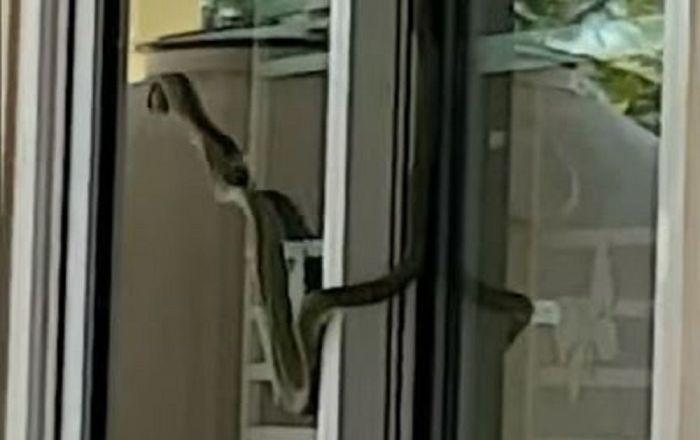 Serpente tentando atravessar vidro