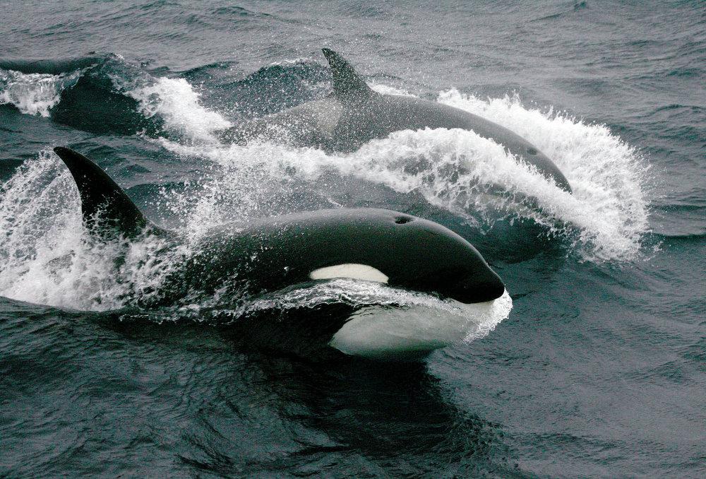 Orca antártica