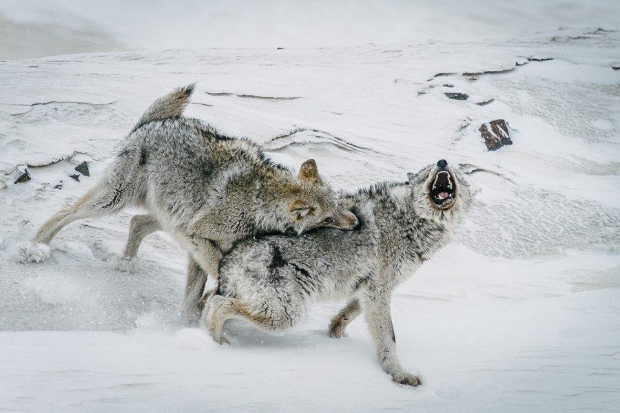 Fotógrafo russo Ivan Kislov tira fotos maravilhosas de animais