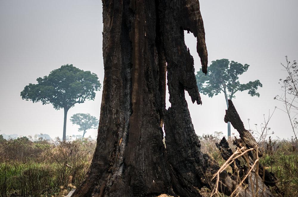 Árvore destruída na Floresta Nacional do Jamanxim, no Pará