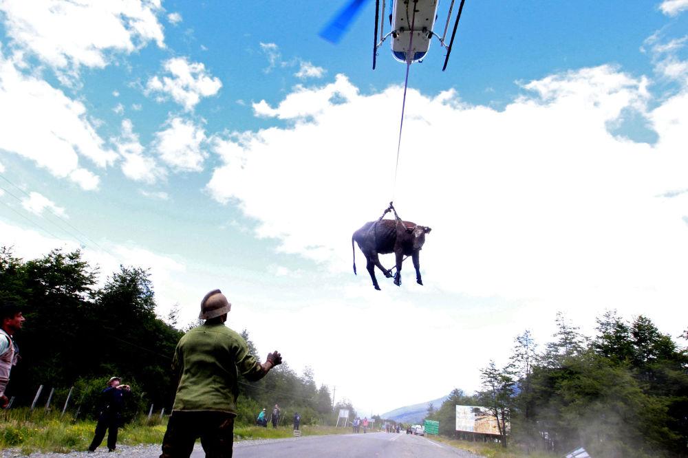 Vaca sendo transportada por um helicóptero após um deslizamento de terra em Villa Santa Lucia, no Chile, em 18 de dezembro de 2017