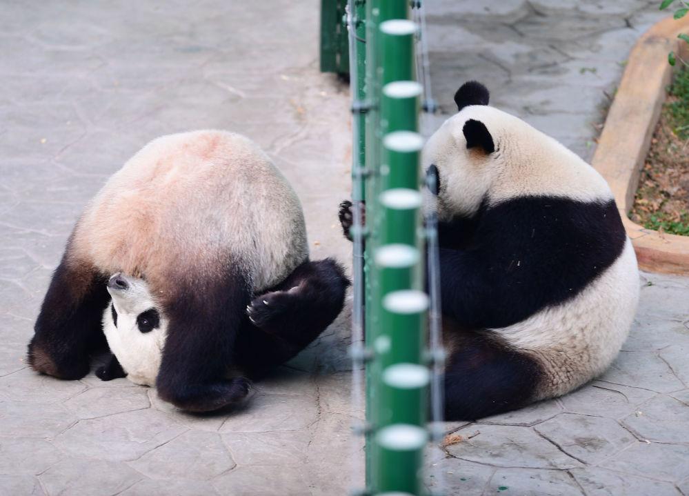 Pandas brincam no jardim zoológico de Shenyang, na China, em 20 de dezembro de 2017