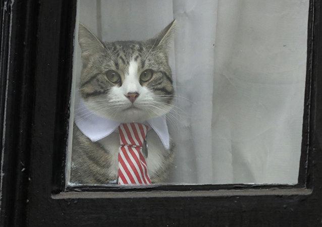 Gato com gravata olhando da janela da embaixada do Equador em Londres
