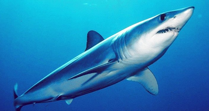 Shortfin mako shark (Isurus oxyrinchus)