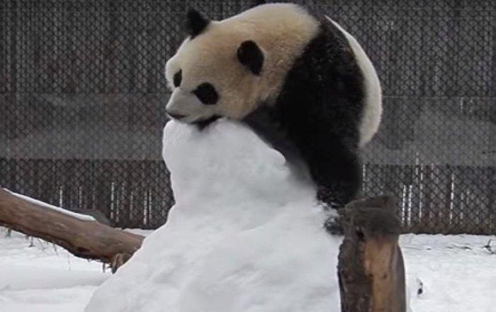 Pandas atacam boneco de neve