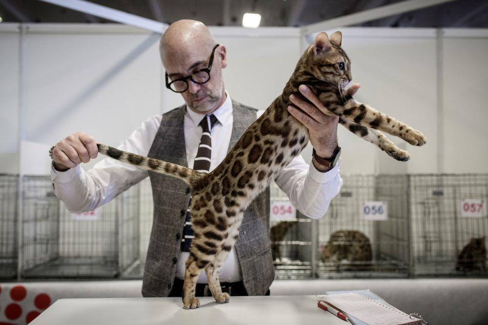 Homem avalia os parâmetros de um gato de raça Bengal durante um show em Paris