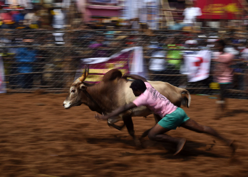 Indiano tenta dominar um touro durante o evento anual chamado de Jallikattu, na povoação de Palamedu