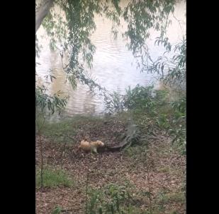 Pura fúria: cachorro faz fugir crocodilo de 3.5 metros