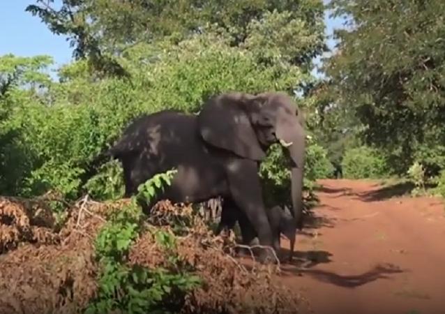 Elefante ataca carro com turistas