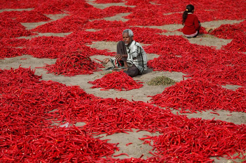 Trabalhadores escolhem pimenta vermelha em uma fazenda indiana