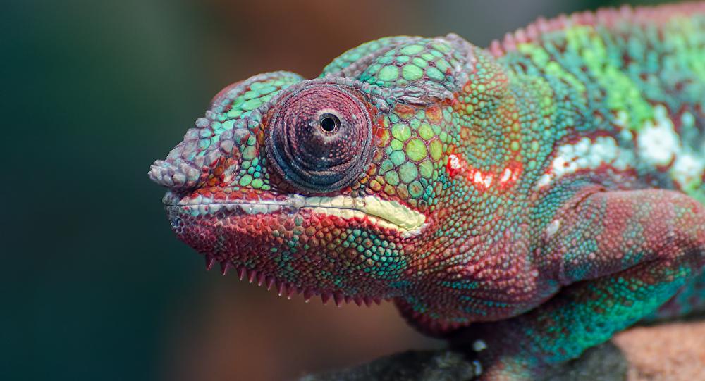 Um camaleão
