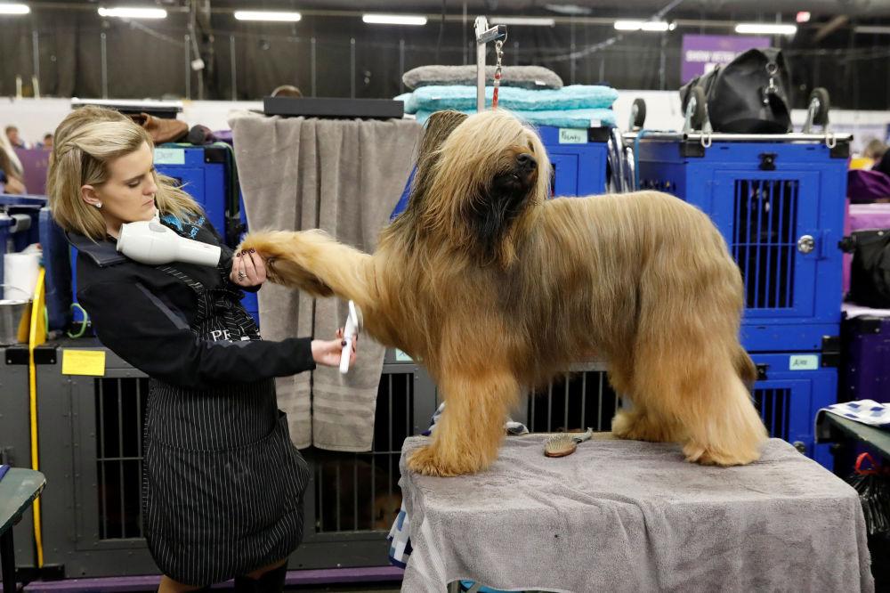 Competidor na maior exposição de cachorros no mundo, Westminster Kennel Club Dog Show, em Nova York