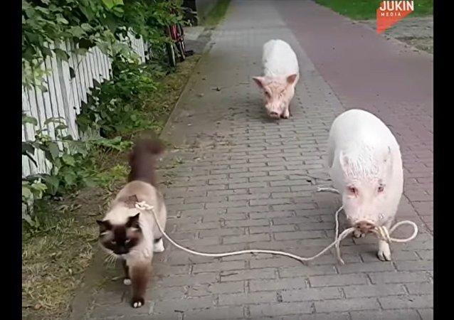Porco leva gato para passear na coleira