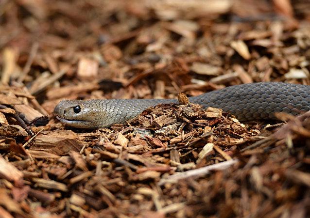 Cobra marrom oriental