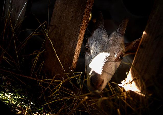 Cabra em uma fazenda de produção de leite e queijo na região da cidade russa de Dmitrov