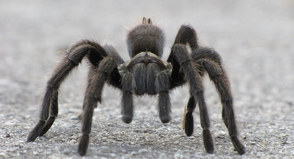 Aranha (Lycosa)