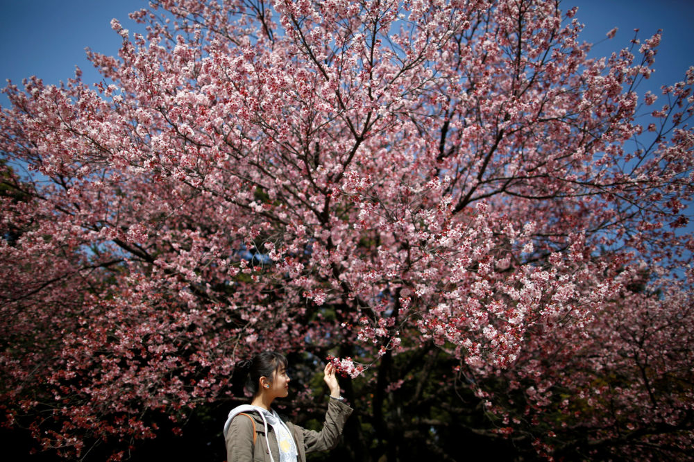 Cerejeiras em flor, Tóquio, Japão